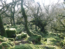 Gnarled Oak in Wistman's Wood