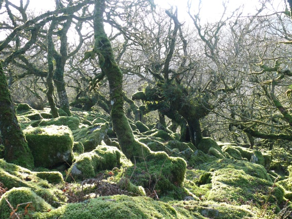Wistman's Wood and the twisted upland oak trees