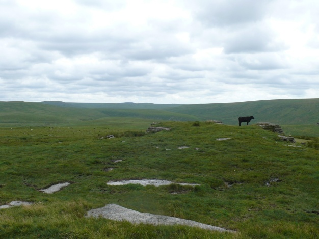 Cow on Dinger Tor!!! Fur Tor in the distance